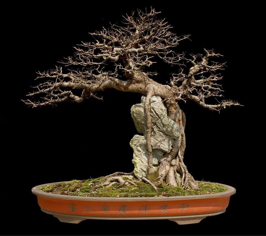 榆树盆景:瑶池剑影