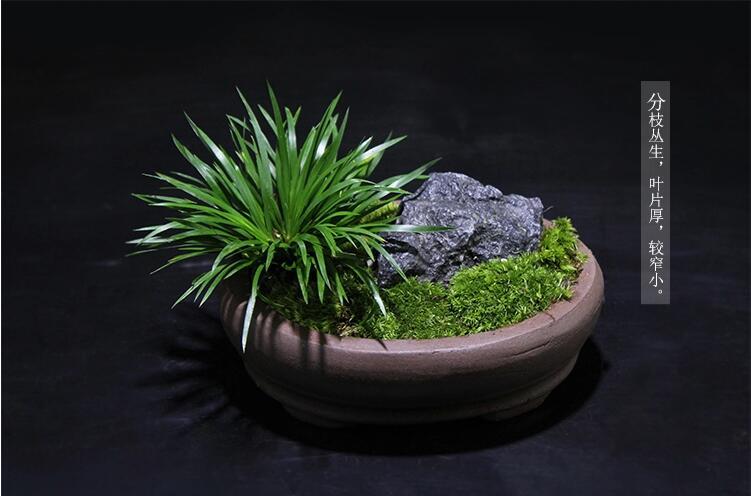 金钱菖蒲微景观盆景