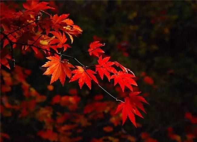 红叶似火意似情,枫叶夜色摄影