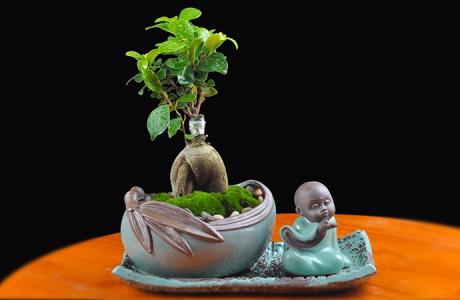 人参榕盆景植物,禅意绿