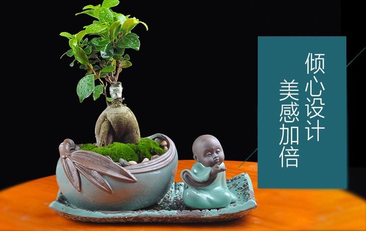 人参榕盆景植物,禅意绿植四季常青盆栽盆景