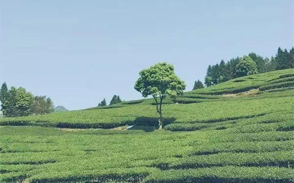 乌龙先生,用心做好茶发扬博大精深的茶文化