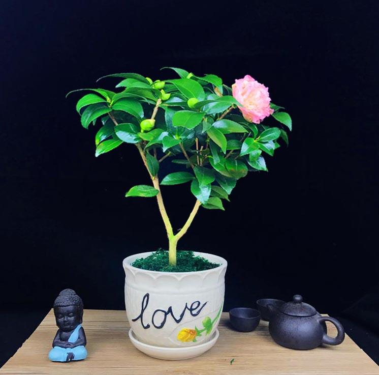山茶花盆景,缤纷艳丽山茶花盆景图片