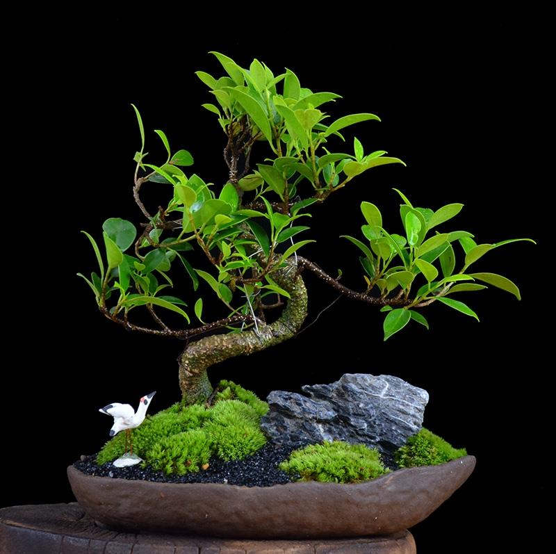 四季常青绿叶盆景图片,精致的小叶榕树盆景