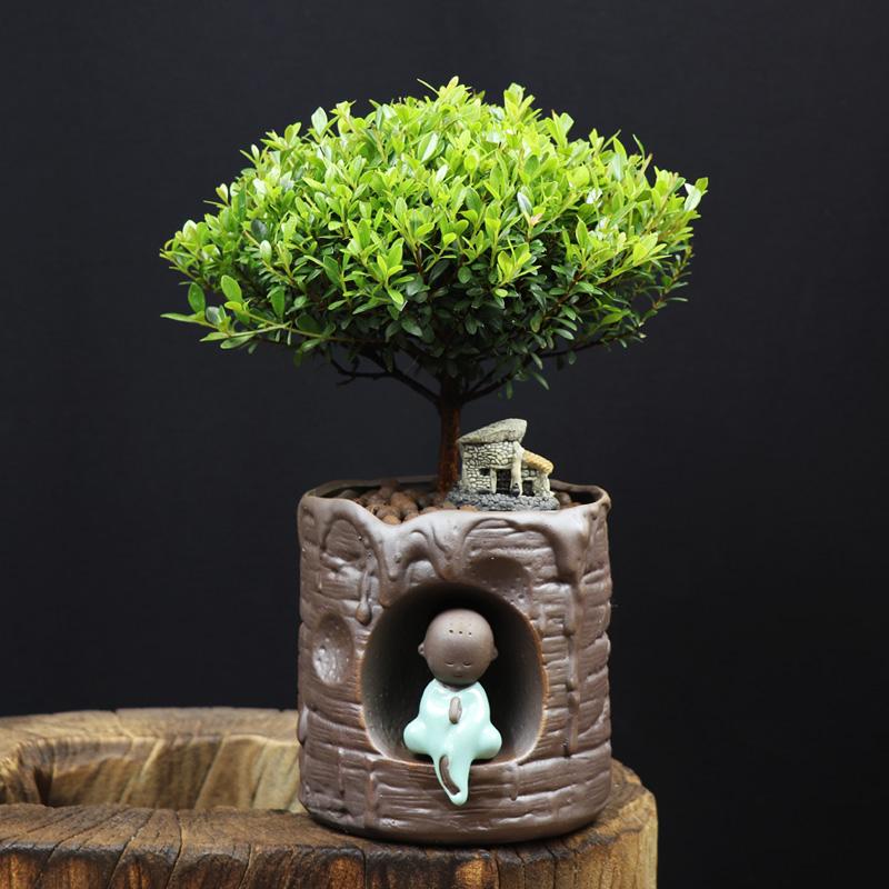 耐寒常青盆景图片,禅意小叶赤楠盆景