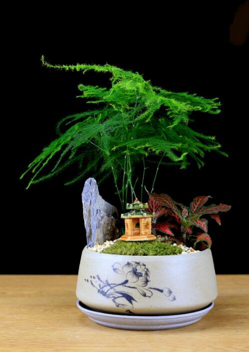 福禄桐文竹盆景,绿植苔藓微景观禅意盆景