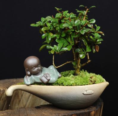 小叶福建茶树桩盆景,室内绿植