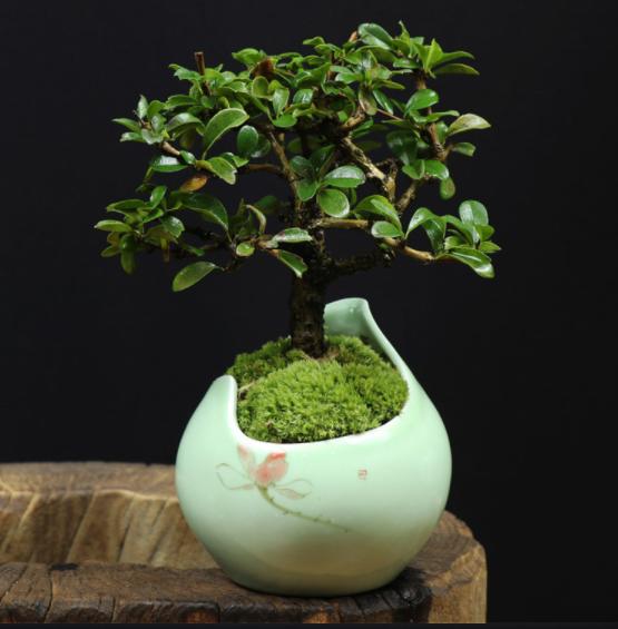 小叶福建茶树桩盆景,室内绿植艺术造型盆景