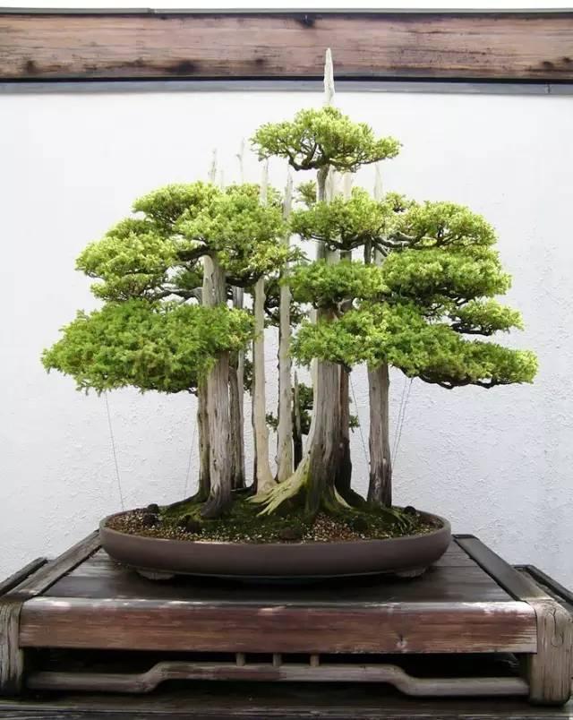 让人惊叹的盆景艺术:世界上最贵盆栽盆景