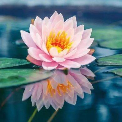 莲花风景摄影:我愿为莲守一池