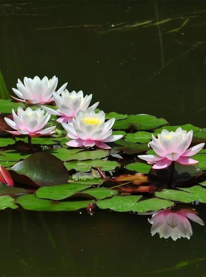 莲花风景摄影:我愿为莲守一池清水