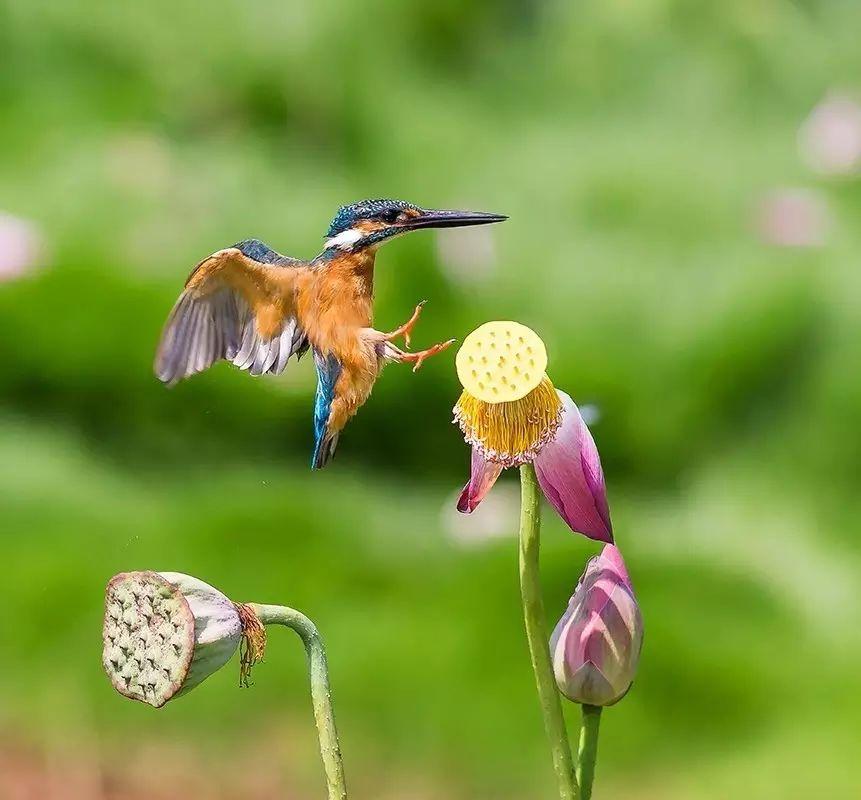 细微之美:一组荷花翠鸟美景图